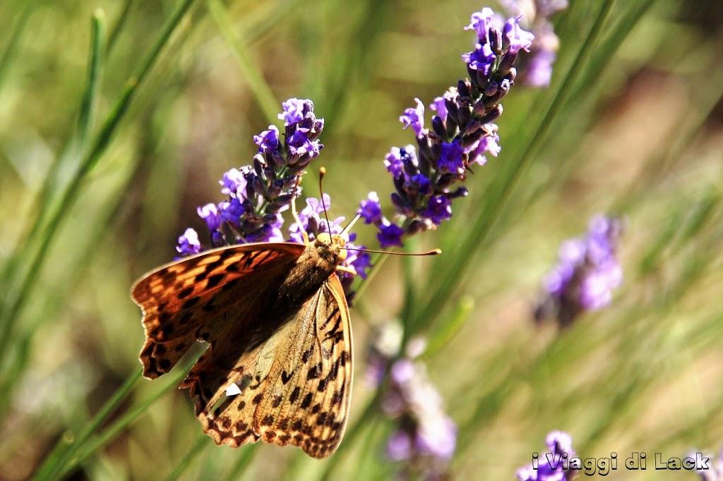 Una farfalla sulla lavanda
